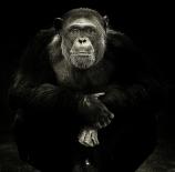 Chimpance-Guillermo-Castuera-Manzano