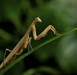 Mantis-Nano-Martin-Caceres
