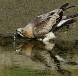 Aguila-calzada-Carlos-Martin-Herrero
