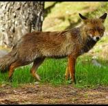 Un-zorrete-de-monfrague-Isabel