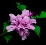 Flor-lila-DG