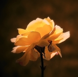 Rosa-de-otoño-Esteban