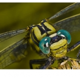 Detalle-libélula-Espartano