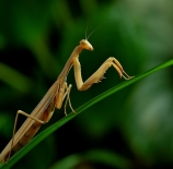 Mantis-Fmarinnano