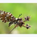 Mariposa-arlequín-Nano