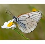 Mariposa-en-margarita-Nano