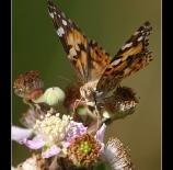 Mariposa-navideña-Castuera