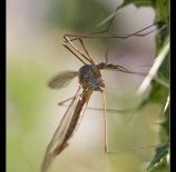 Mosquito-Malias