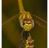 The-Dragonfly-Espartano