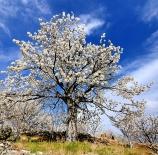 otro-cerezo-florecio-steban